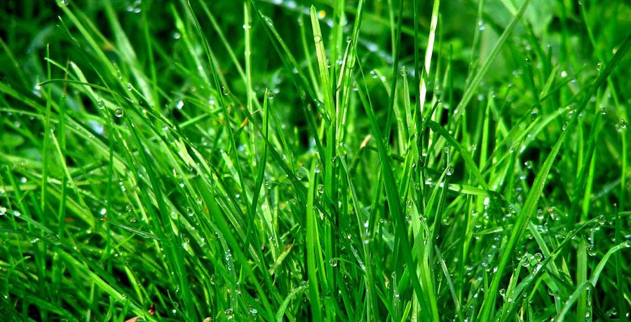 La hierba, fuente de combustible de hidrógeno